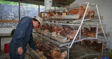 Experto de la UAEMéx propone usar el ajo para liberar a la avicultura de los antibióticos