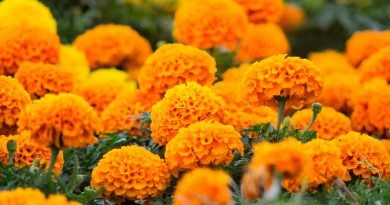 Conoce la leyenda de la flor de cempasúchil, protagonista del Día de Muertos