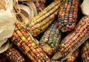 Viva el maíz nativo, viva la milpa: productores tras falló de la SCJN de protegerlos de lo transgénico